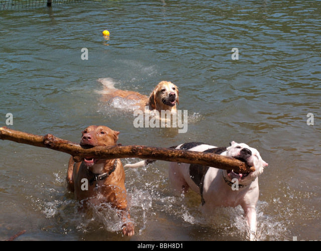 Two Pit Bulls carry a branch out of the water at Dog Beach - Stock Image