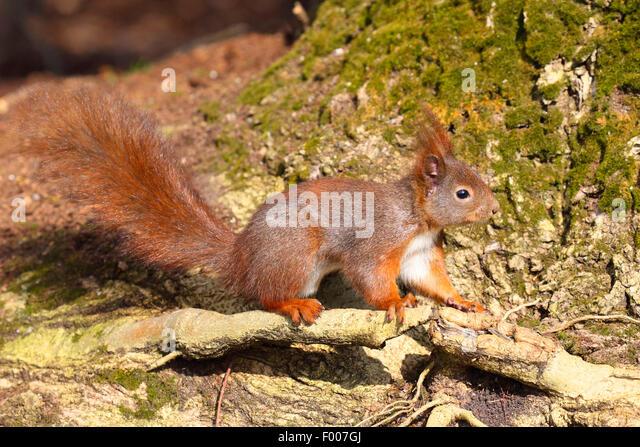 European red squirrel, Eurasian red squirrel (Sciurus vulgaris), at a tree root, Germany - Stock Image