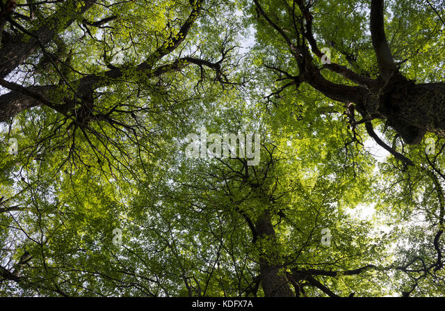 Nothofagus tree canopy at Gray Lake trail, Torres del Paine, Chile - Stock Image