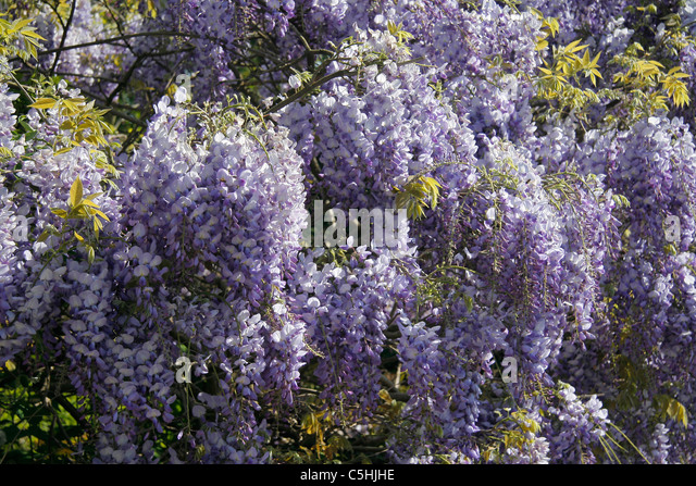 the giant wistaria ~ this picture gives some stats on this amazing wisteria vine in sierra madre, california the worlds largest wisteria on one acre, weighs 250 tons, started in there is a wisteria festival there every year.