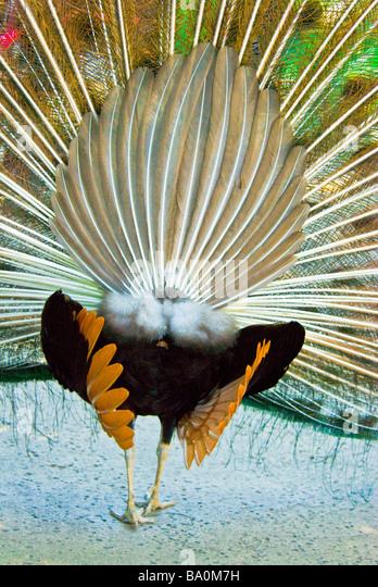 male-peacock-pavo-cristatus-rear-view-di