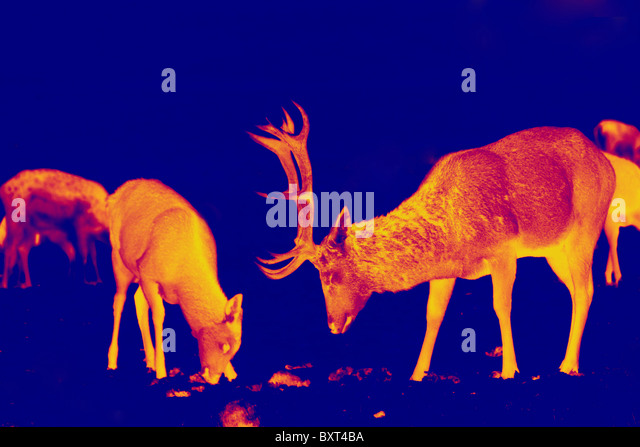 Red deer and stag converted in to a thermal infrared digital photograph to appear as a heat-seeking predatory shot - Stock-Bilder