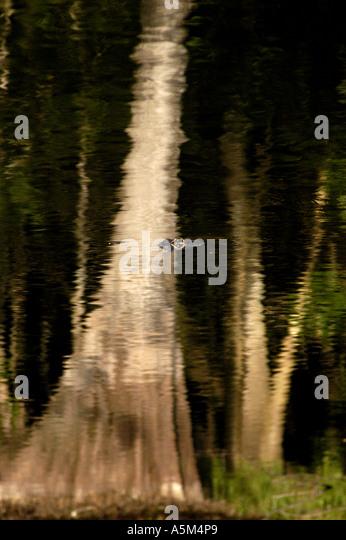 St Johns River Florida american alligator cypress tree reflection - Stock Image