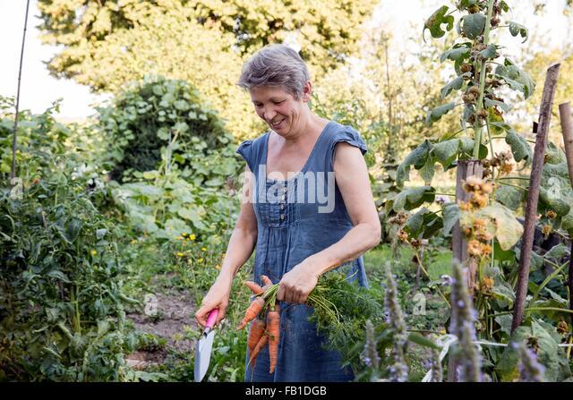 Mature woman gardening, digging up fresh carrots - Stock Image
