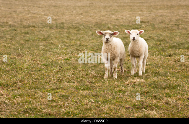 Spring lambs in a field on the north Devon coastline. - Stock Image