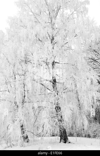 snowy trees black and white stock photos amp snowy trees