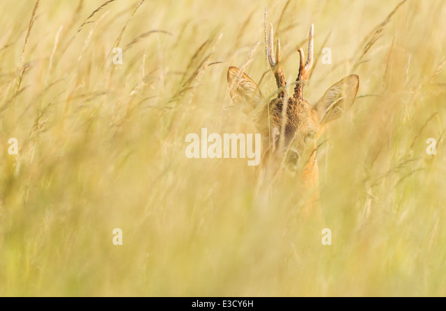 Roe buck hiding in tall grass of a traditional English summer meadow at sunset during the deer's annual rut, - Stock Image