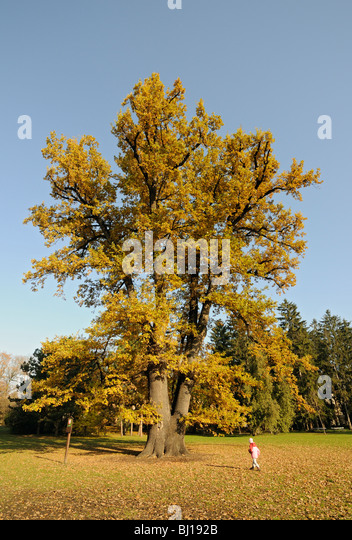Rudolph's Oak, 250 years old Pedunculate Oak (Quercus Robur or Q. Pedunculata) at Smetana Gardens in Olomouc, - Stock Image