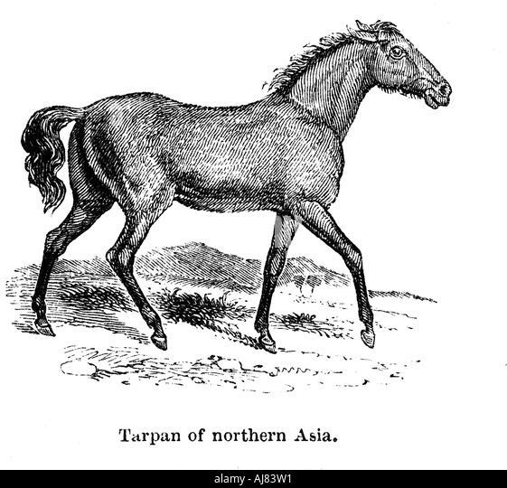 Tarpan 1850  - Stock-Bilder