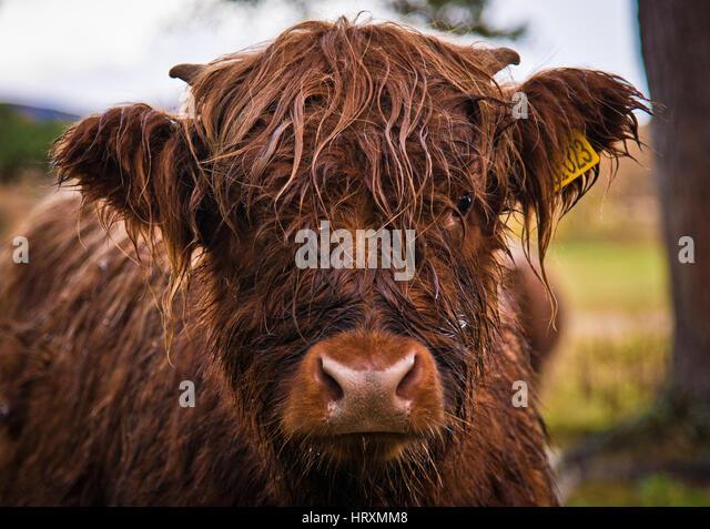 A Highland Cow headshot - Stock Image