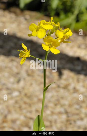 Turnip flower, brassica rapa - Stock Image