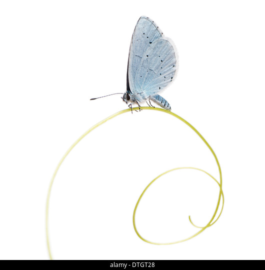 Holly Blue butterfly on plant, Celastrina argiolus, in front of white background - Stock Image