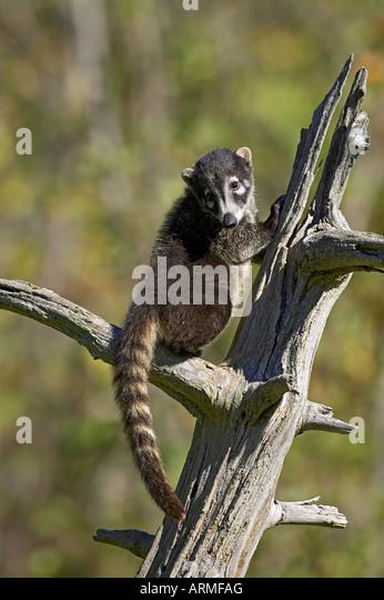 Captive coati (Nasua narica), Minnesota Wildlife Connection, Sandstone, Minnesota, United States of America, North - Stock-Bilder