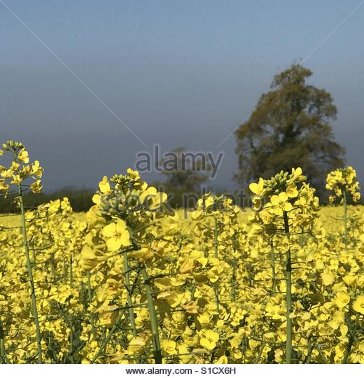 Rapeseed / canola in bloom - Stock Image