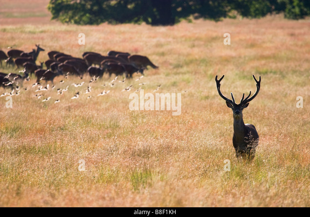 Red deers Richmond Park London England - Stock Image