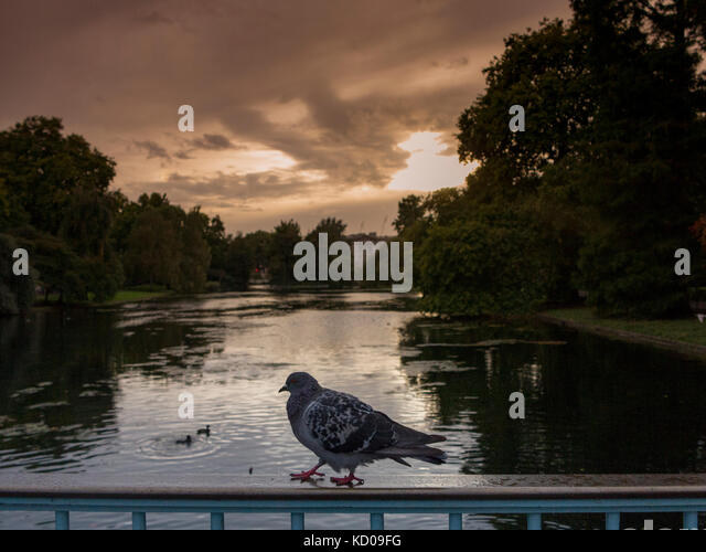 A pigeon on the railings of the bridge in St James' Park, with Buckingham Palace in the background - Stock Image