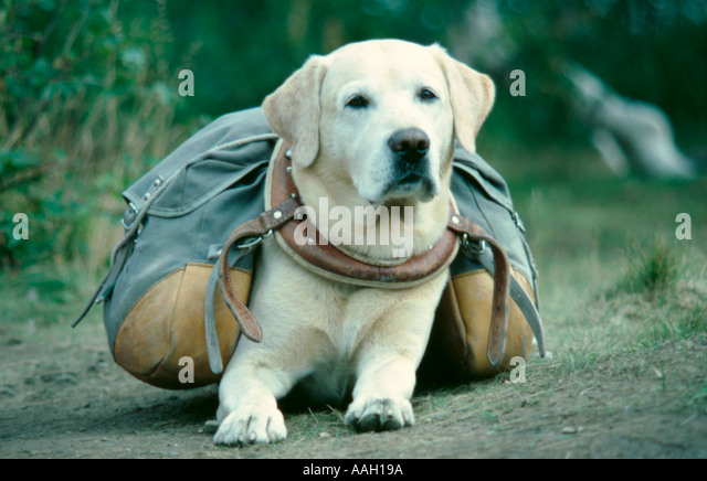 Dog with pannier bags, Kebnekaise area, to the west of Kiruna, Lappland, Norrbottens Län, arctic Sweden. - Stock Image