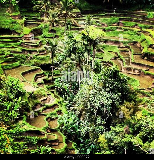 Rice Terraces, Tegalalang, Bali, Indonesia - Stock Image