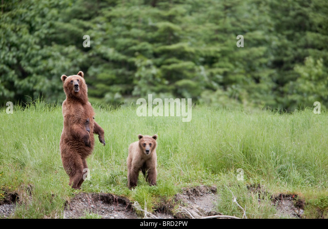 Brown bear female stands  with her cub in tall grasses, Prince William Sound, Chugach Mountains, Chugach National - Stock Image