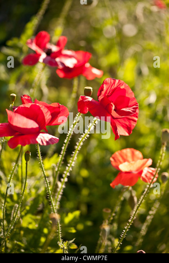 Red poppy flowers growing in sunny garden - Stock Image
