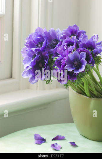 Portrait close-up shot of purple Poppy Anemones or Spanish Marigolds in a green pot on a green table top by a window. - Stock Image