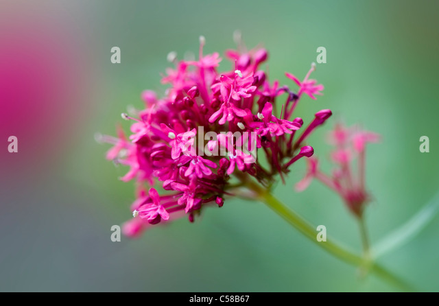 Close-up image of the vibrant Red Valerian summer flowers also known as Centranthus Ruber  or Fox. - Stock Image