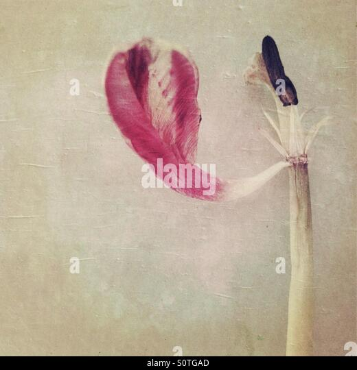 Pink Tulip With One Petal - Stock Image