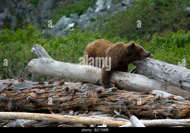 Coastal brown bear balancing on driftwood stack on the beach in Katmai National Park & Preserve, Alaska, United - Stock Image