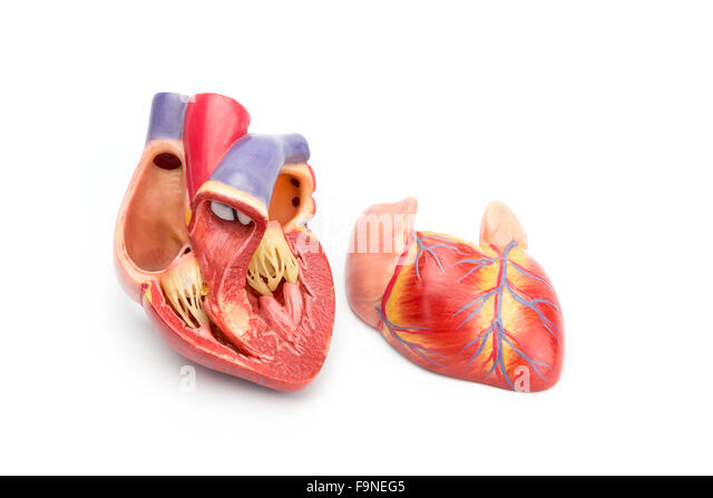 Open model of human heart showing internal construction isolated on white background - Stock Image
