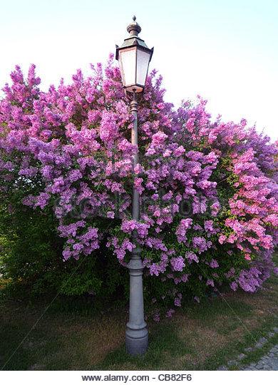 Munich Lilac Nymphenburg Park Lantern Frhling - Stock-Bilder