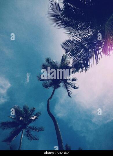 Coconut trees - Stock Image