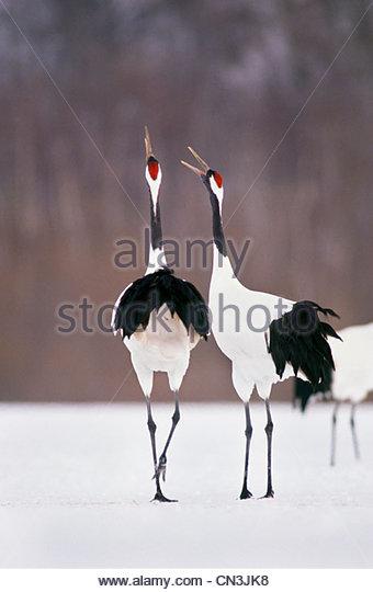 Japanese or red-crowned cranes, Hokkaido, Japan - Stock Image