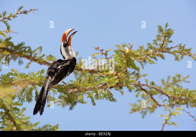 Von der Decken's Hornbill - El Karama Ranch, Laikipia Region, Kenya - Stock Image