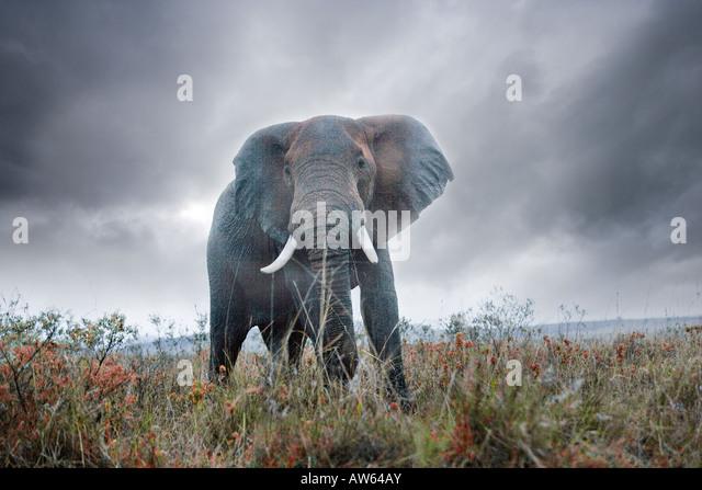 Bull elephant, Maasai Mara Game Reserve, Kenya - Stock Image