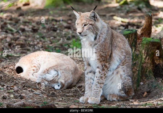 Eurasian Lynx, Lynx lynx, Bavarian Forest, Germany - Stock-Bilder