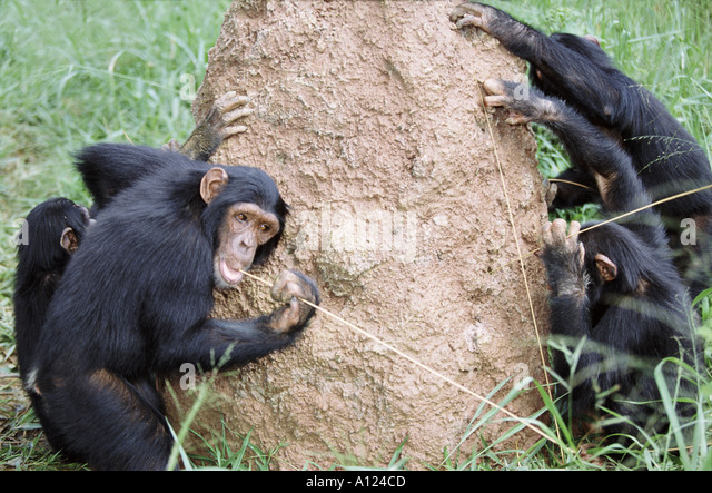 Chimpanzees using sticks as tools to fish for termites Uganda - Stock Image