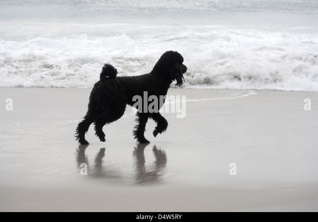 Black Dog on Beach - Stock Image