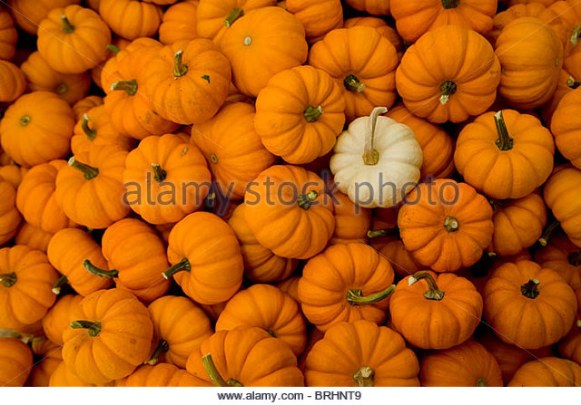 A white miniature pumpkin stands out in a mass of orange ones. - Stock Image