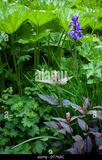 Iris with contrasting foliage textures and shapes of Lysimachia ciliata 'Firecracker', Alchemilla mollis - Stock Image