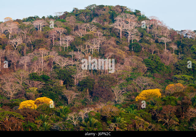 Rainforest beside Rio Chagres in Soberania National Park, Republic of Panama. The yellow trees are flowering Gold - Stock-Bilder