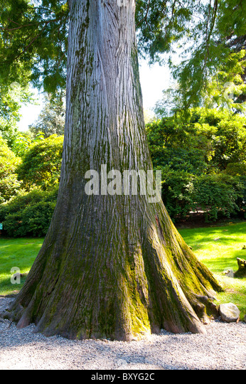 Taxodium Distichum taxodiaceae tree - Stock Image