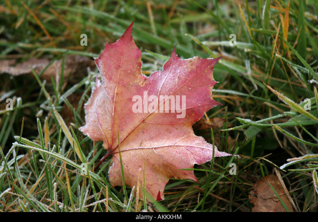 A red maple leaf laying in the grass with ice crystals on it - Stock Image