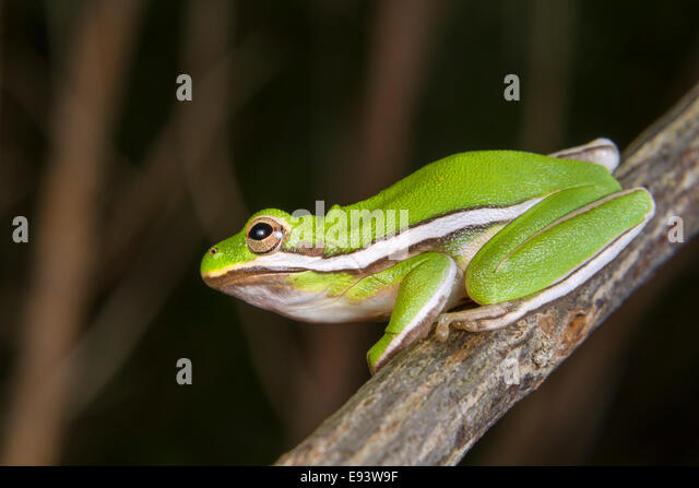 American Green Treefrog Stock Photos & American Green ... Poisonous Green Frogs In Texas