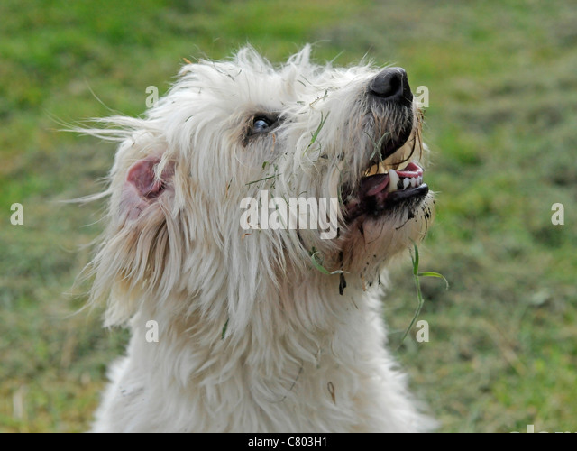 A happy dirty bichon frise that has been playing in the dirt - Stock Image
