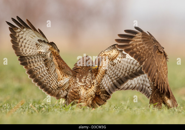 Common Buzzards Fight - Stock Image