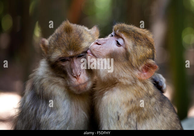 Barbery apes familiarity - Stock Image