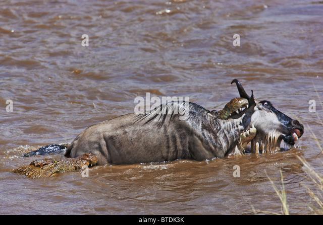 Crocodile (Crocodylus niloticus) Catching Blue Wildebeest (Connochaetes taurinus) in the Masai Mara National Reserve. - Stock Image