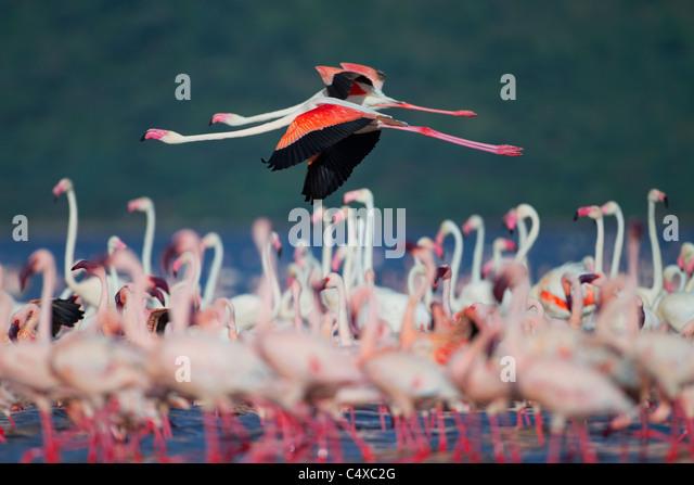 Lesser Flamingo (Phoenicopterus minor) at Lake Bogoria.Kenya - Stock-Bilder
