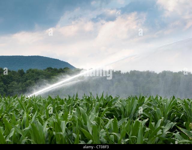 sprinkler watering corn field - Stock Image