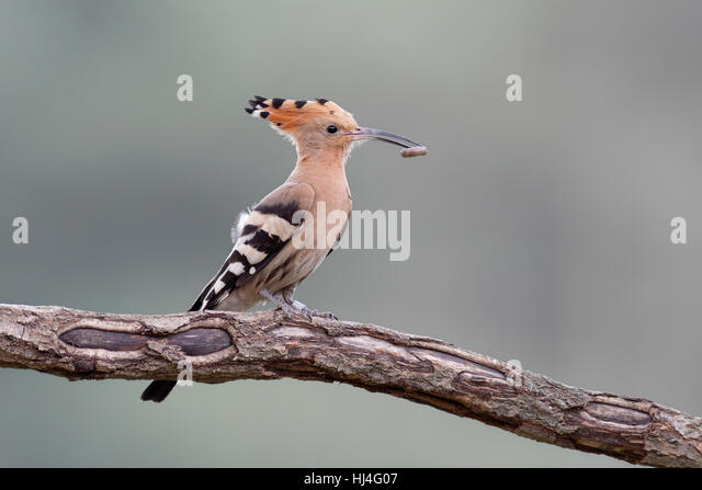 Hoopoe (Upupa epops) with prey on branch, Middle Elbe Biosphere Reserve, Saxony-Anhalt, Germany - Stock Image
